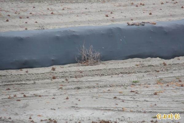 莊啟祐認為有看到颱風過後產生的枯黃瓜藤與雜草,即認定是災損。(記者陳冠備攝)