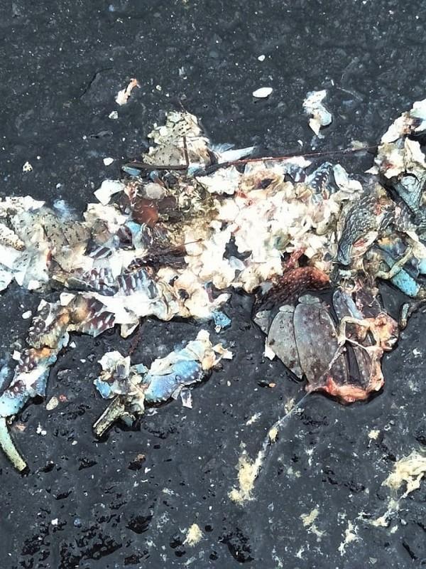 遭路殺輾碎的椰子蟹。(記者蔡宗憲翻攝)
