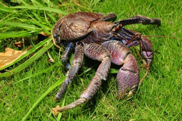 台灣保育類椰子蟹。(記者蔡宗憲翻攝)