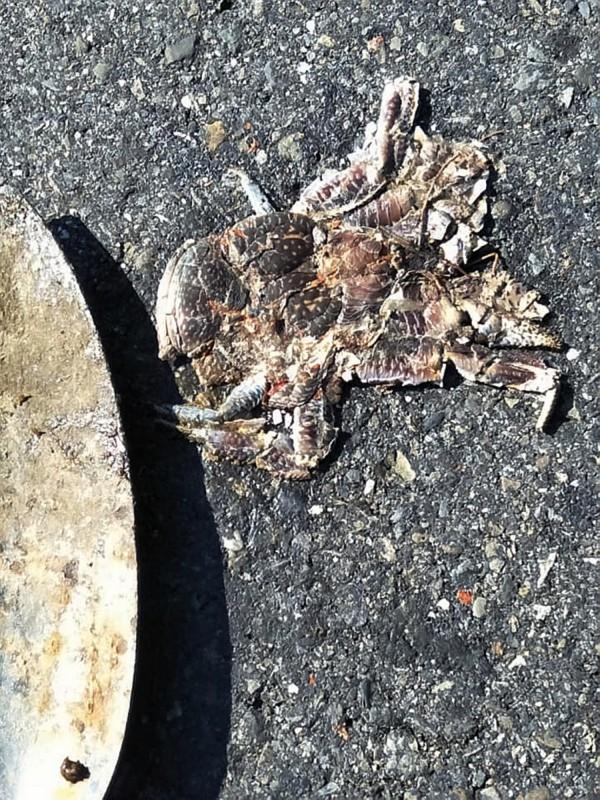 遭路殺的椰子蟹。(記者蔡宗憲翻攝)