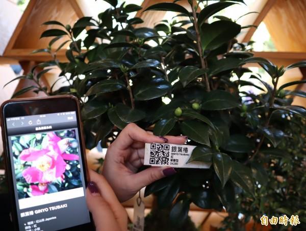 「台開三角積木概念館」內外的茶花,民眾可透過手機掃描QRcode取得詳細資料,茶花也會透過語音自我介紹喔!(記者歐素美攝)