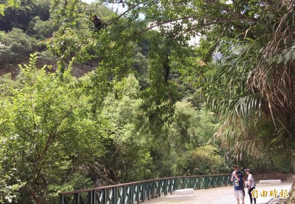 太魯閣山區現存千隻獼猴棲息,台8線沿線及白楊步道均可看見母猴帶著猴崽爬樹嬉戲,模樣俏皮可愛,吸引遊客停留捕捉「猴影」。 (記者王峻祺攝)