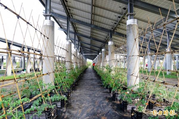 林邊光采濕地挑高的陸地型太陽能板下方空間,種植蔬菜甚至高經濟作物。(記者陳彥廷攝)