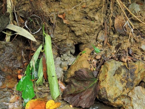 澤蟹的巢穴,洞口的淤泥就是澤蟹挖洞的痕跡。(圖由劉創盛提供)