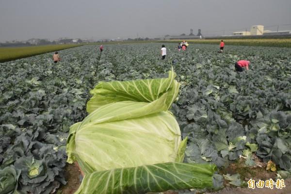 高麗菜價跌,雲林農民開放一顆10元自採。(記者黃淑莉攝)