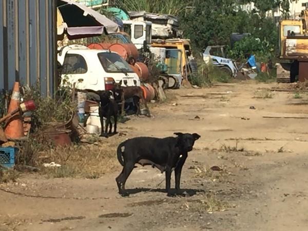 草屯鎮李姓婦人昨天慘遭3隻惡犬攻擊身受重傷,咬人的狗今天被飼主用狗鏈栓起。(記者佟振國翻攝)