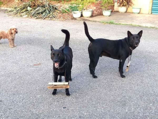 幫家犬佩戴榜上木頭的項鍊,可以防止狗狗追行經的機車騎士或行人。(圖由段傳仁提供)