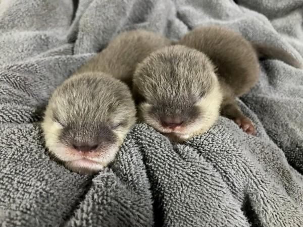 小爪水獺夫妻「NINA」與「HUGO」喜獲第四胎寶寶,擁有兩隻健康的水獺姊妹。(北市立動物園提供)