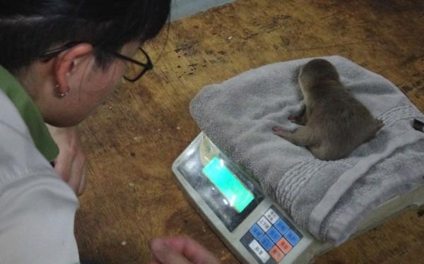 保育員為小爪水獺寶寶測量體重。(台北市立動物園提供)