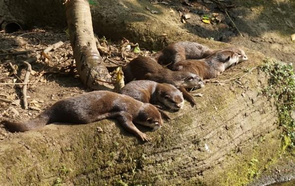 小爪水獺家族享受日光浴。(台北市立動物園提供)