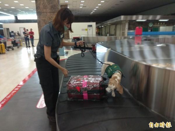 防疫犬嗅聞旅客行李,檢查有無夾帶肉製品。(記者洪定宏攝)