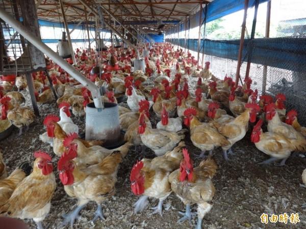 選後發雞排量少,不會導致價格波動。(記者黃旭磊攝)