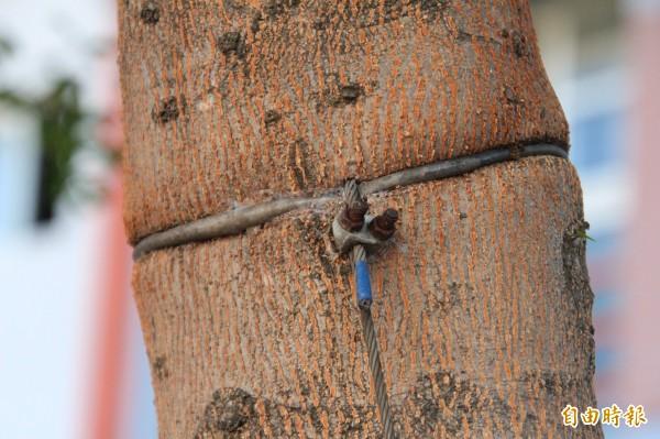 新竹縣山崎國小後門的小葉欖仁樹長期被鐵絲纏勒,有些鐵絲已經慢慢被包覆,被樹幹「吃進去」。(記者黃美珠攝)