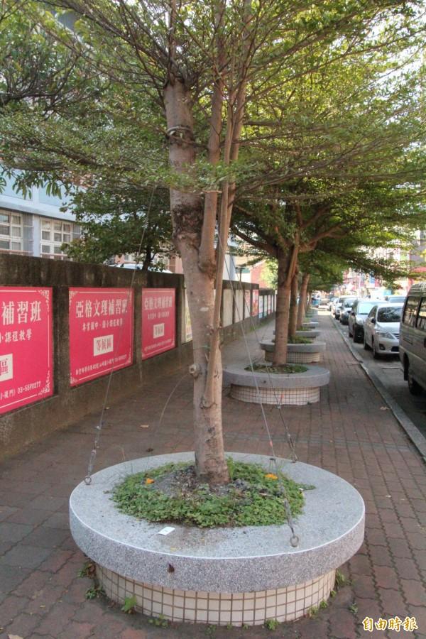 新竹縣政府教育處表示,他們會立刻發函通知境內所有學校檢視校園內外、周邊行道樹等,有無鐵絲纏勒樹木的狀況,有發現,必須立刻鬆綁。(記者黃美珠攝)