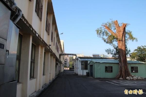 新竹縣雙溪國小車棚旁的半百木麻黃最近被校方腰斬,至少4層樓高的老樹,被砍成如圖慘狀,只剩下約2層樓高,事前沒有擬定計畫,更沒有通報縣府。(記者黃美珠攝)