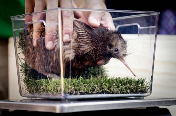 紐西蘭國鳥鷸鴕(kiwi bird)。(法新社檔案照)