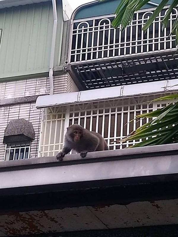 嘉義縣救難協會今天接到 「捉猴」任務。(擷取自徐紹唐臉書)