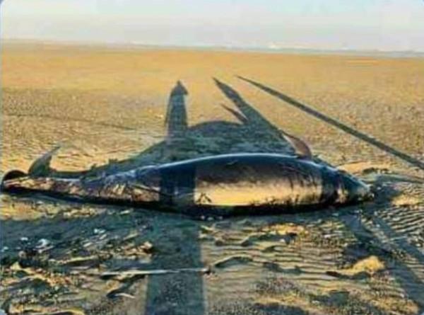 一隻保育類偽虎鯨被漁民發現擱淺在嘉義縣東石沿海沙洲死亡。(嘉義縣救難協會提供)