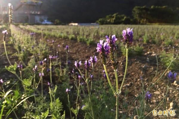 桃園花彩節復興場的紫薰衣草花田,已陸續開出紫色花朵。(記者李容萍攝)
