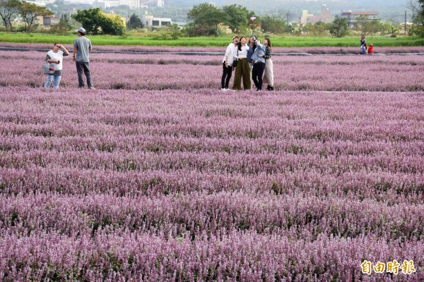 楊梅場紫爆的仙草花田,是這次桃園花彩節最夯的展區。(記者李容萍攝)