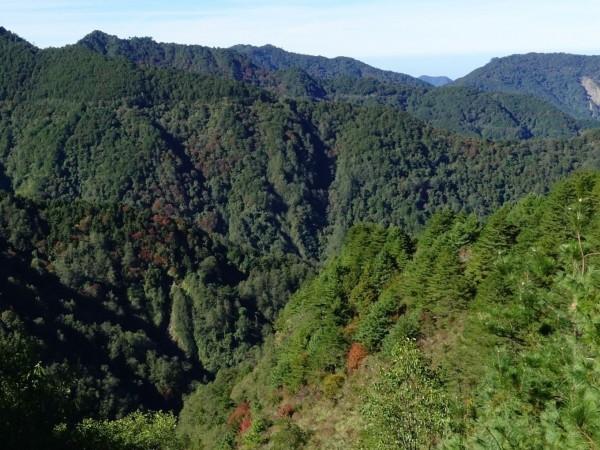 玉山塔塔加園區楓紅乍現,山谷可見楓紅陸續轉色。(玉管處提供)