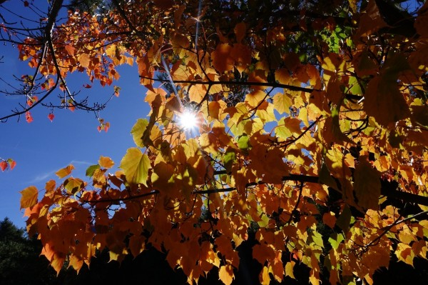 玉山塔塔加園區楓紅乍現,楓樹在暖冬驕陽的陪襯下,別有一番風情。(玉管處提供)