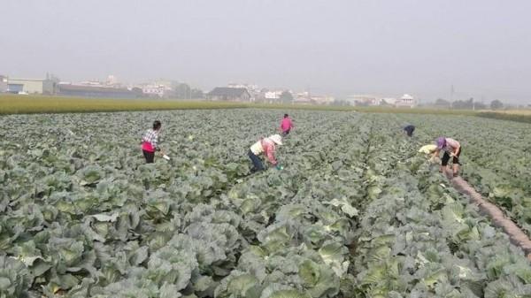 找不到合作場社,雲林農民登記耕鋤高麗菜改找議員。(記者詹士弘翻攝)