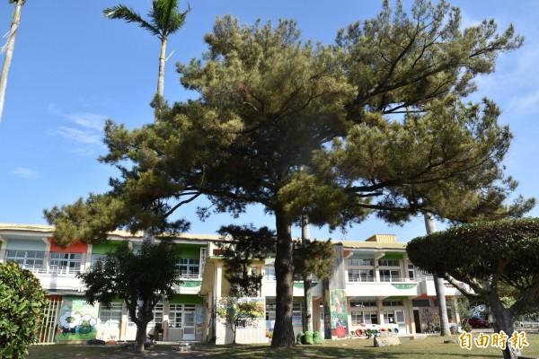 斗南重光國小百年黑松樹幹筆直、樹形像傘,獲選全國最美校樹優選。(記者黃淑莉攝)