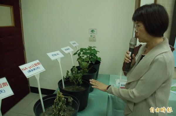 農委會新研發的落葉劑NA-ycil經試驗,乾燥效果不輸巴拉刈,因剛推廣,屏東農友尚未見到成效,還存有顧慮。(記者李立法攝)