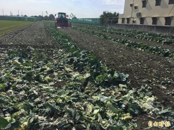 農民耕鋤高麗菜,每分地現賠1萬1000元。(記者林國賢攝)