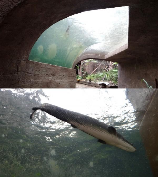 熱帶雨林區穿山甲館,進館映入眼簾的是仿河流生態的水域造景,水面有象魚悠游。(台北市立動物園提供)
