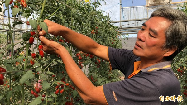 林德正是屏東縣玉女番茄達人。(記者羅欣貞攝)