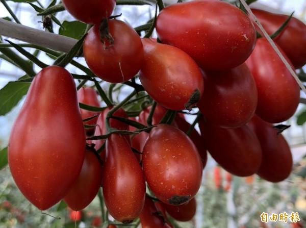 今年小番茄甜得晚,現在品嚐正是時候。(記者羅欣貞攝)