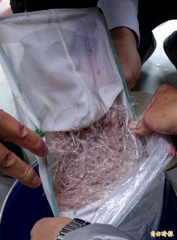 關務署台北關28日凌晨在一批以熱帶魚為名的出口貨品中,查獲8萬多條管制出口的鰻線,市價約新台幣800多萬元。(記者朱沛雄攝)