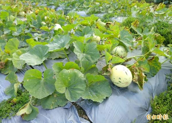 李文宏種的斑比洋香瓜,有一部分採露天匍式種植法。(李文宏提供)