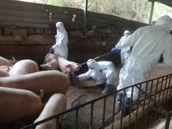 金門防疫所4日針對海漂死豬發現地周邊半徑5公里內豬場執行抽樣及檢驗結果非洲豬瘟病毒呈陰性,顯示並無擴散。(圖由金門防疫所提供)
