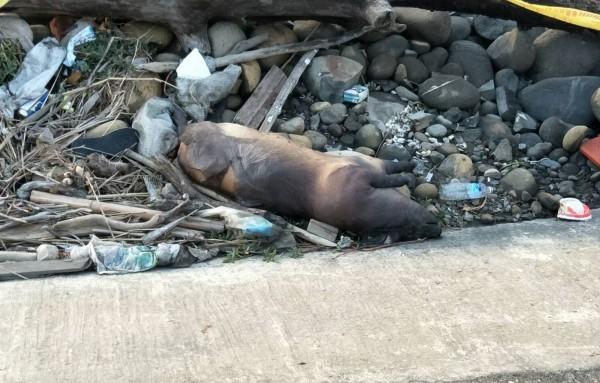 台中龍井海岸邊今天下午發現豬屍,雖外觀看起來完整,但內臟已經腐壞,研判死亡超過1個月。(記者陳建志翻攝)