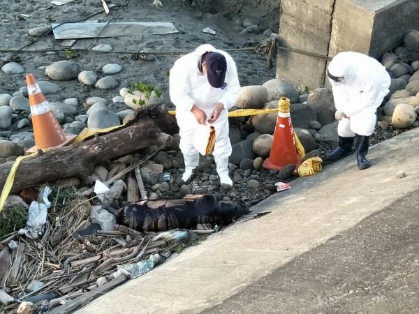 台中龍井海岸邊今天下午發現豬屍,台中市動物保護防疫處派人到場處理,並在豬屍噴灑消毒水消毒。(記者陳建志翻攝)