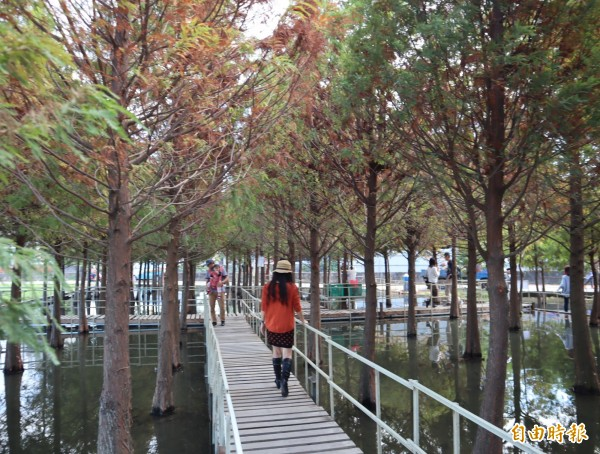 中科落羽松,設有木棧道供民眾漫步松林中,享受浪漫。(記者歐素美攝)