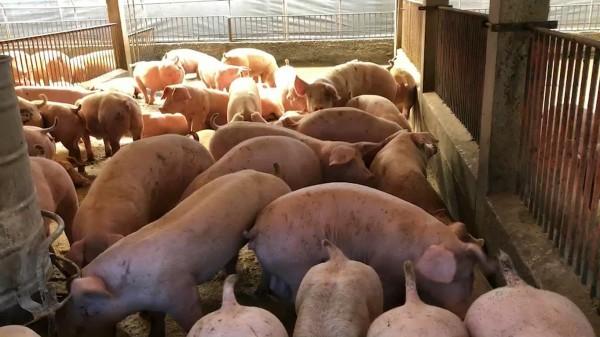 養豬是彰化縣重要產業,飼養數量全國排名第3。(記者張聰秋翻攝)