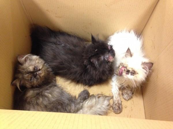 台北市動保處於去年發現民眾用Uber棄養受傷幼貓案,3隻年幼波斯貓雙眼皆嚴重感染,其中2隻幼貓甚至眼球脫出眼眶,經蒐證終查獲棄養及虐待貓咪事證,該案移送地檢署偵辦。(圖由動保處提供)