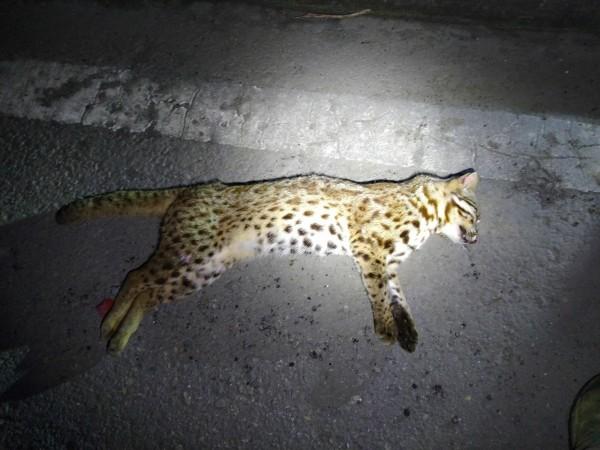 苗29線今天凌晨傳出今年首起石虎遭路殺事件。(翻攝臉書粉絲團「貓徑地圖王小明」)