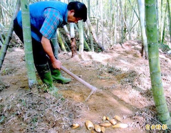 南投縣今年冬筍產量銳減,令筍農叫苦連天。(資料照,記者謝介裕攝)
