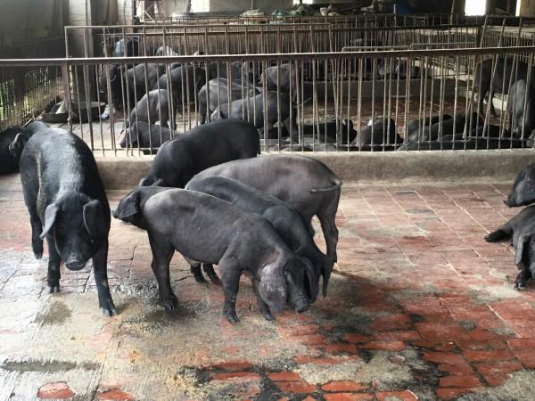 雲林縣正式公告不得用廚餘養豬。(資料照)