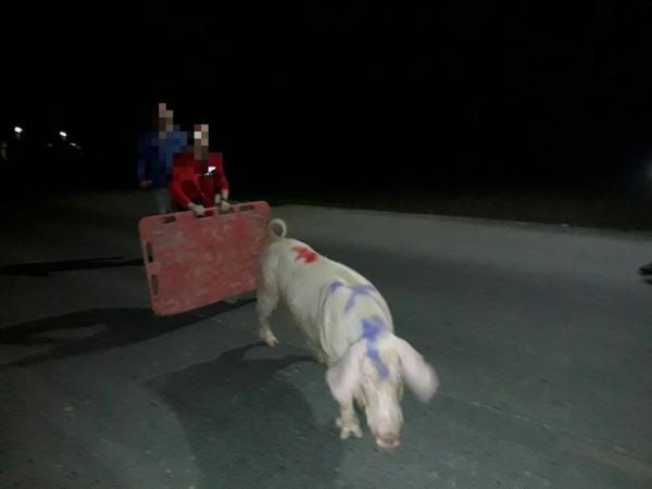 一頭種母豬跑出豬舍,有民眾發現報警處理。(記者廖淑玲翻攝)