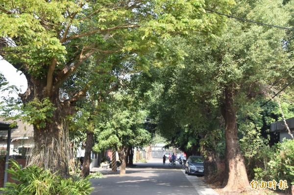 高雄橋頭區明德新村日治時期宿舍門前種植整排的雨豆樹。(記者蘇福男攝)
