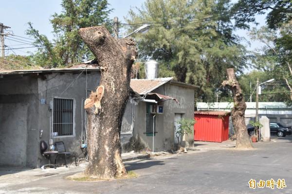 2棵雨豆老樹慘遭居民斷頭砍伐、不當修剪。(記者蘇福男攝)
