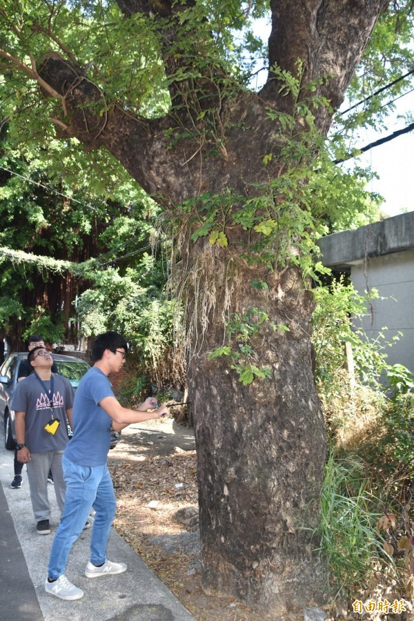 嘉義大學森林系師生鑽取雨豆樹生長椎,將化驗樹齡,並觀察老樹健康狀況。(記者蘇福男攝)