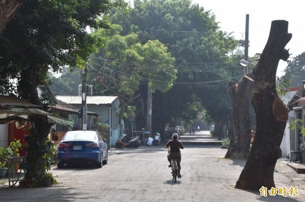 嘉義大學森林系教授詹明勳研判,2棵遭斷頭的雨豆老樹,3至5年內將因腐朽、無法行光合作用而逐漸枯死。(記者蘇福男攝)