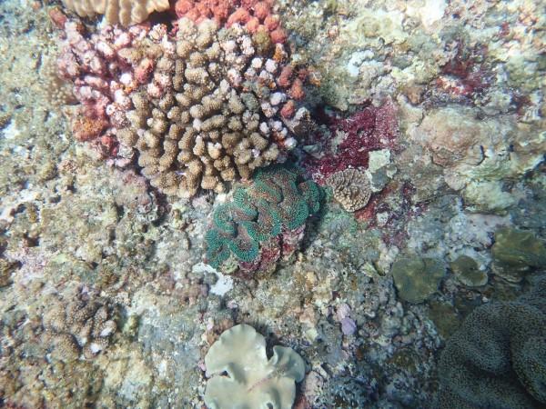 東沙環礁藏千年珊瑚礁,圖為外環礁硨磲貝。(中山大學提供)